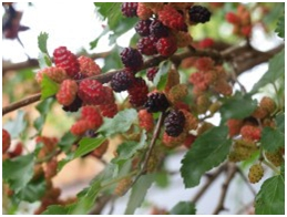 mulberries1